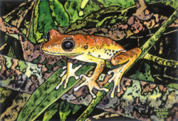 Anazonian Tree Frog